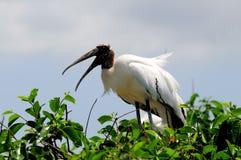 在树,佛罗里达顶部的喧闹的白色木鹳 免版税库存照片