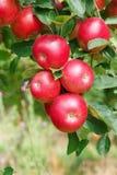 在树,关闭的成熟苹果 库存图片