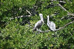在树,巴拉德罗角,古巴的野生鹈鹕 免版税库存照片