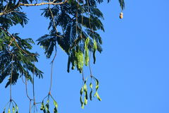 在树,气味可食的豆的苦涩豆泰国 免版税库存照片