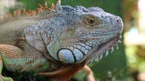 在树,泰国,苏梅岛的大鬣鳞蜥蜥蜴 绿色鬣鳞蜥蜥蜴宏指令 股票视频
