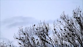 在树,自然,队,背景蓝色的乌鸦 股票录像