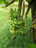 在树,芭蕉科的香蕉果子 免版税库存图片