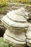 在树, Hainich国家公园,德国的蘑菇 免版税库存照片