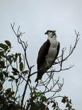 在树, Sanibel,佛罗里达的白鹭的羽毛 库存图片