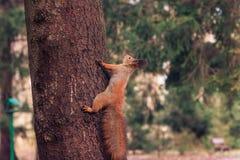 在树(寻常的中型松鼠的红松鼠) 库存图片
