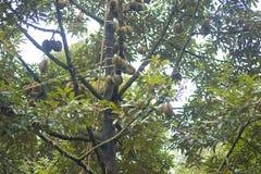 在树-泰国果子的留连果 库存图片