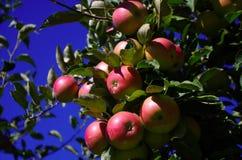 在树2的成熟苹果 免版税图库摄影