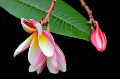 在树& x28的羽毛花; 其他名字是赤素馨花, Apocynacea 免版税库存照片