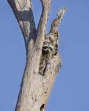 在树洞, Okefenokee沼泽全国野生生物保护区的浣熊 免版税库存图片