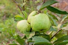 在树(Psidium guajava)的番石榴果子 库存照片