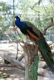 在栖息处树的孔雀鸟 库存图片