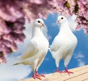 在栖息处的两只白色鸽子与开花的淡紫色树 库存照片