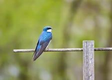 在栖息处的公树燕子 免版税图库摄影