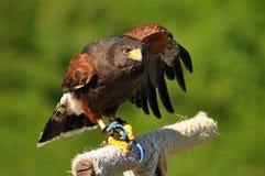 在栖息处的哈里斯鹰 免版税库存图片
