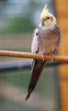 在栖息处的小形鹦鹉 免版税库存图片