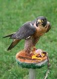 在栖息处的旅游猎鹰 免版税库存照片