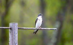 在栖息处的母树燕子 图库摄影