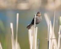 在栖息处的母美洲红翼鸫 免版税库存照片