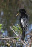 在栖息处的沼泽地美洲蛇鸟 免版税库存图片