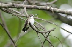 在栖息处的红宝石红喉刺莺的蜂鸟 库存图片