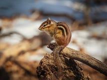 在栖息处的花栗鼠 免版税库存照片
