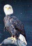在栖息处的非洲鱼鹰 免版税库存图片