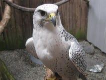 在栖息处的鹰 免版税图库摄影