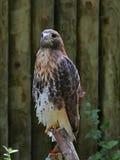 在栖息处的鹰 图库摄影