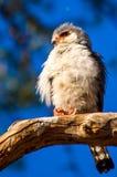 在栖息处纳米比亚猛禽的矮人猎鹰 免版税库存图片
