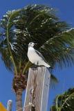 在栖息处,马拉松,佛罗里达的海鸥 库存图片