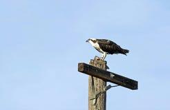 在栖息的白鹭的羽毛电线杆 免版税库存照片