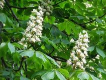 在栗子树的白花 免版税库存图片