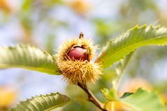 在栗树的未加工的栗子 免版税图库摄影