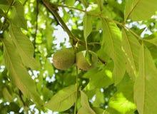 在核桃树的未成熟的核桃在庭院里 库存图片