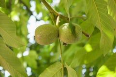 在核桃树的未成熟的核桃在庭院里 免版税库存图片