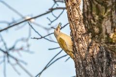 在核桃树的白发啄木鸟 免版税库存照片