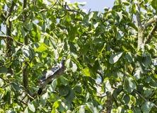 在核桃树的鸽子 免版税图库摄影