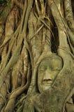 在根树里面的菩萨的头在阿尤特拉利夫雷斯3 库存照片