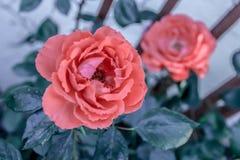 在格子的两朵lucious玫瑰 免版税库存照片