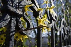 在格子篱芭的明亮的春天花,被弄脏的背景 库存照片