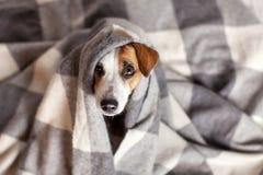 在格子花呢披肩下的狗 免版税库存图片