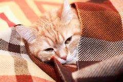在格子花呢披肩下的猫 免版税库存照片