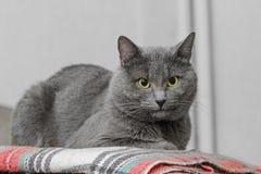 在格子花呢披肩毯子的灰色猫 免版税库存图片