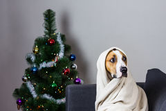 在格子花呢披肩的狗在圣诞树前面的沙发 免版税库存图片