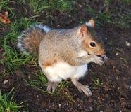 在格拉斯哥大学的灰鼠 库存图片