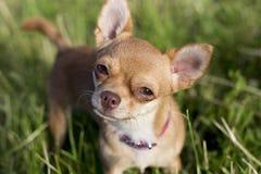 在格拉斯的微小的奇瓦瓦狗 免版税图库摄影