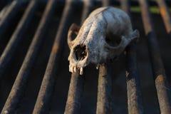 在格栅的动物头骨 免版税图库摄影