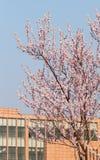 在桃子开花的盛开 免版税库存照片