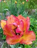 在桃子颜色的美丽的杂种郁金香在庭院里 库存照片
